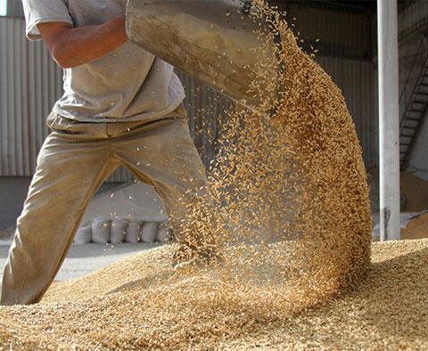 Un fermier déverse un pot de grains